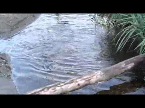 Video by Elizabeth Butler: First 2014 Fauntleroy Creek