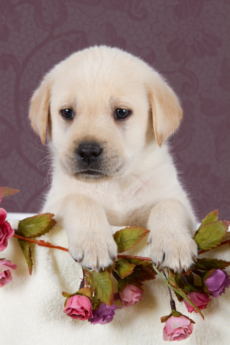 Small Labrador Puppy With Flowers In Blanket On Pink Pattern Background Studio Labradorretriever Labrador Retriever Golden Retriever Labrador Labrador