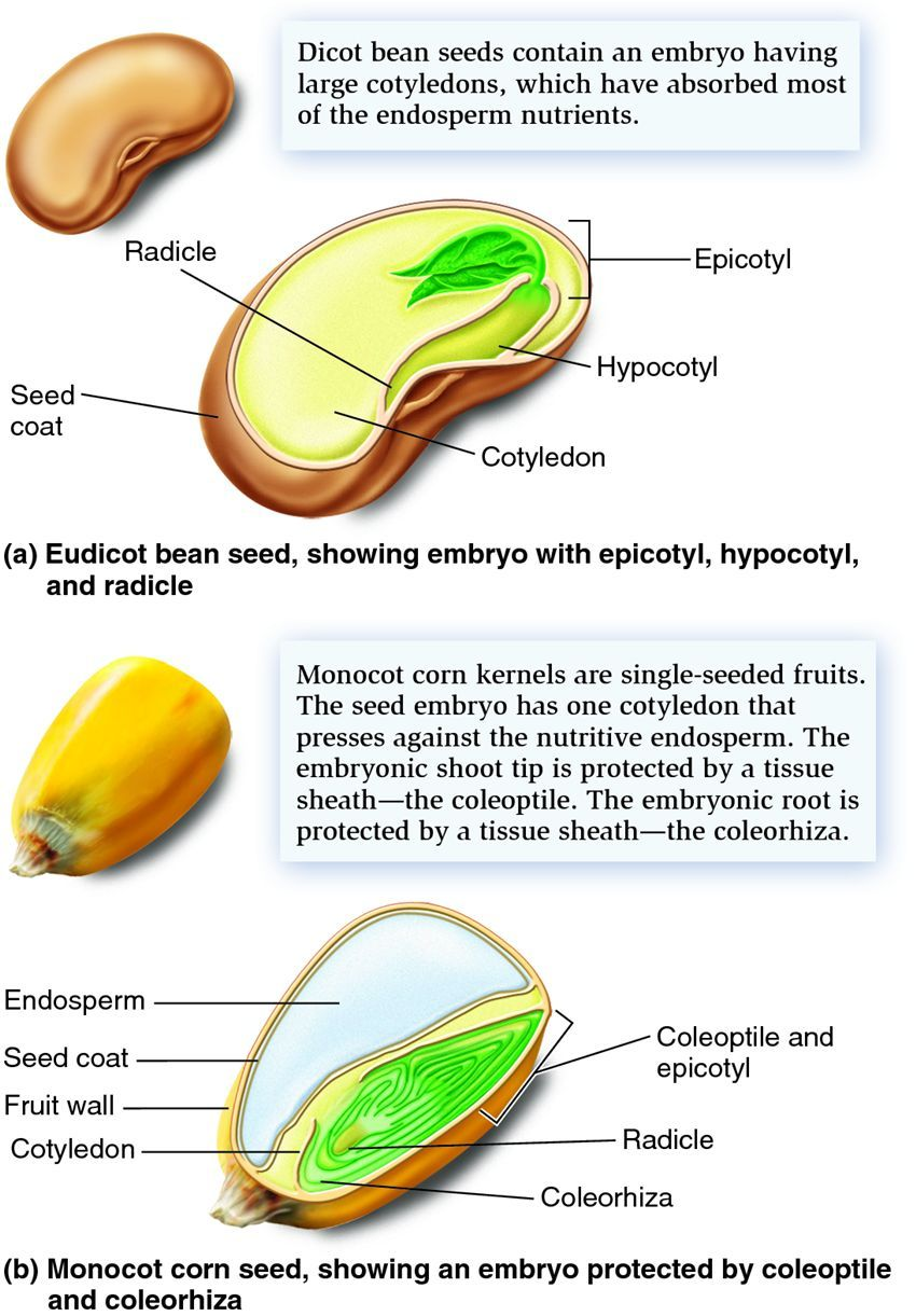 Lesson 2 Seed Structure Agr 180 Pinterest And Seeds Corn Diagram Kernel