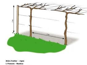 fiche de culture le kiwi et la vigne kiwi vignes et fiches. Black Bedroom Furniture Sets. Home Design Ideas