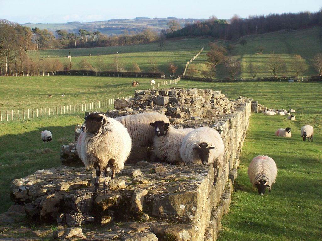 Sheep graze along what remains of Hadrian's Wall In Northumbria.