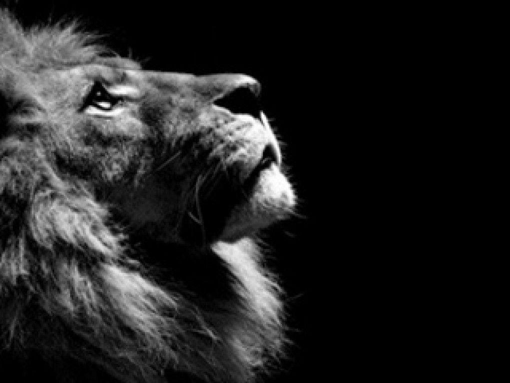 Black Lion Hd Wallpaper Wallpapersafari Lion Profile
