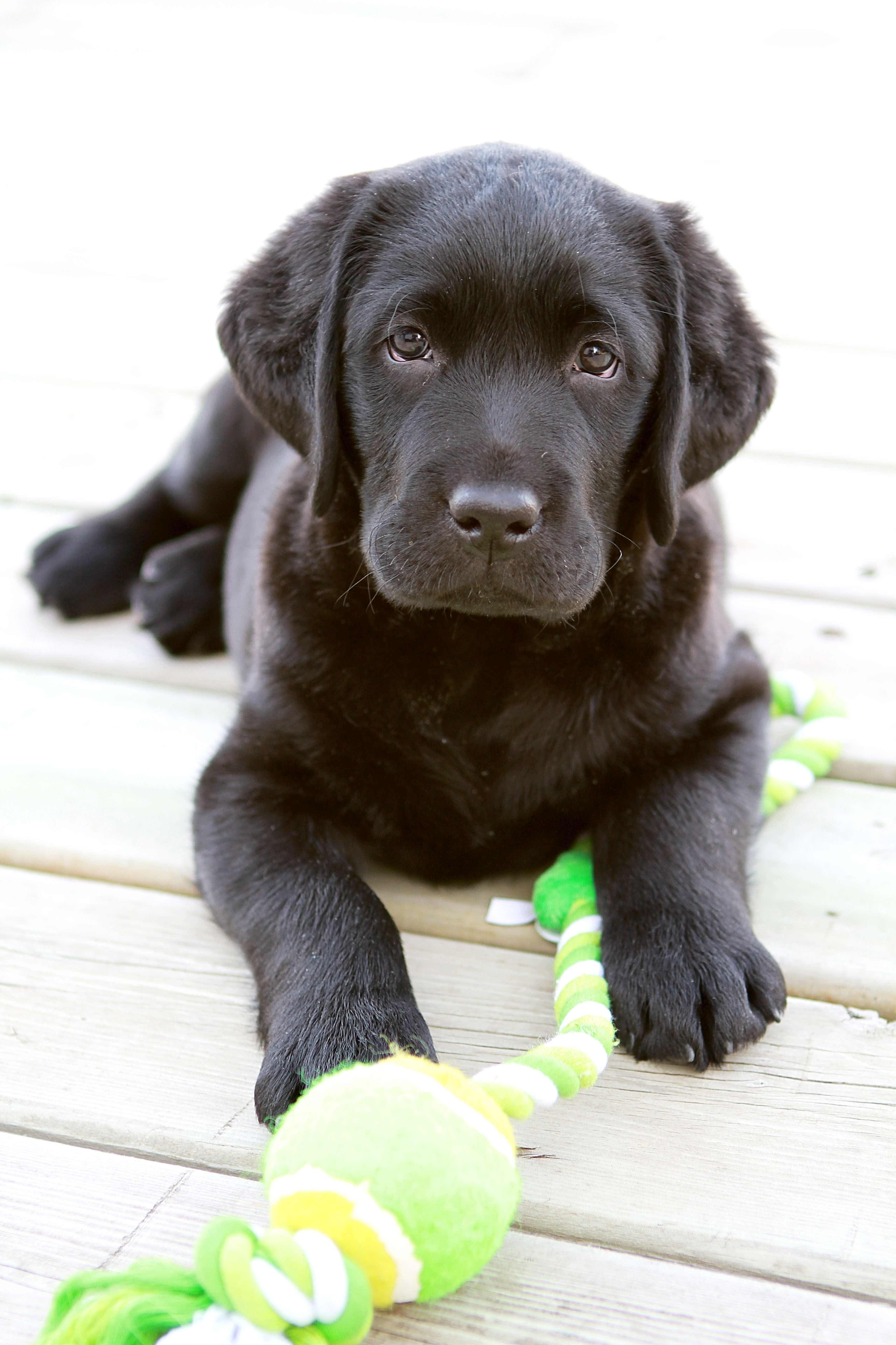 Black labs puppy dogs hound pups hunting puppies labrador