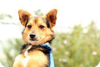 Vacaville Ca Corgi Welsh Terrier Mix Meet Sprocket A Dog For