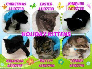 Holiday Kittens A1107733 A1107737 A1107738 A1107739 A1107740 A1107741 Cat Adoption Cats Foster Kittens
