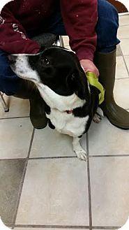 Chippewa Falls Wi Corgi Basset Hound Mix Meet Shelby A Dog For Adoption Basset Hound Mix Corgi Dog Adoption