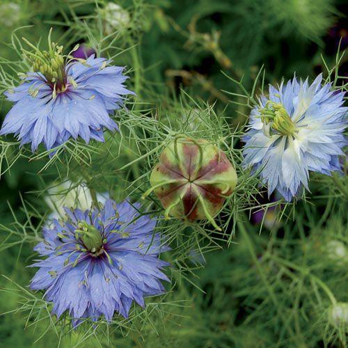 Love In A Mist Miss Jekyll Flower Seeds Heirlooms Flowers Flowers