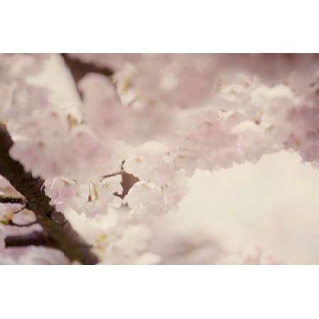 Flowering Chery II Canvas Art - Roberta Murray (24 x 36)