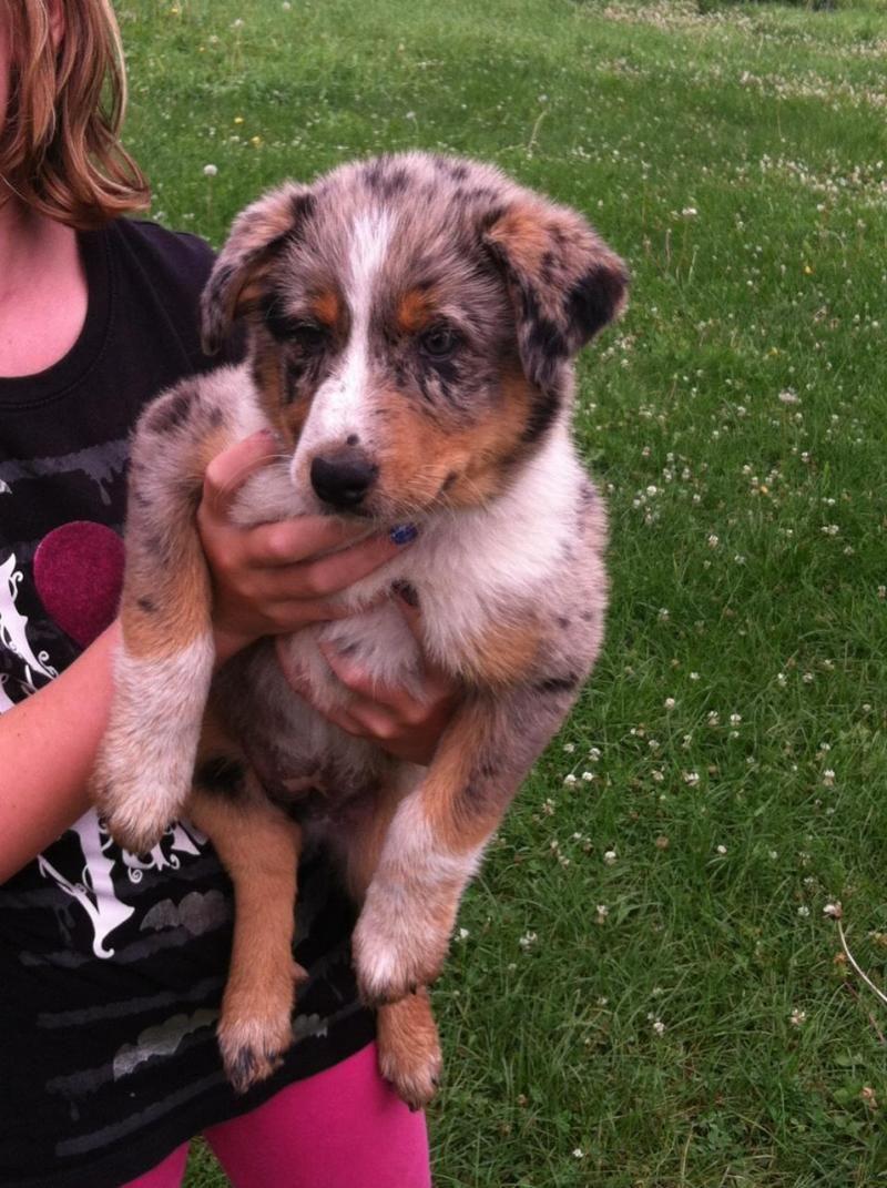 Adopt Lacy On Petfinder Australian Shepherd Dogs Pets Shepherd