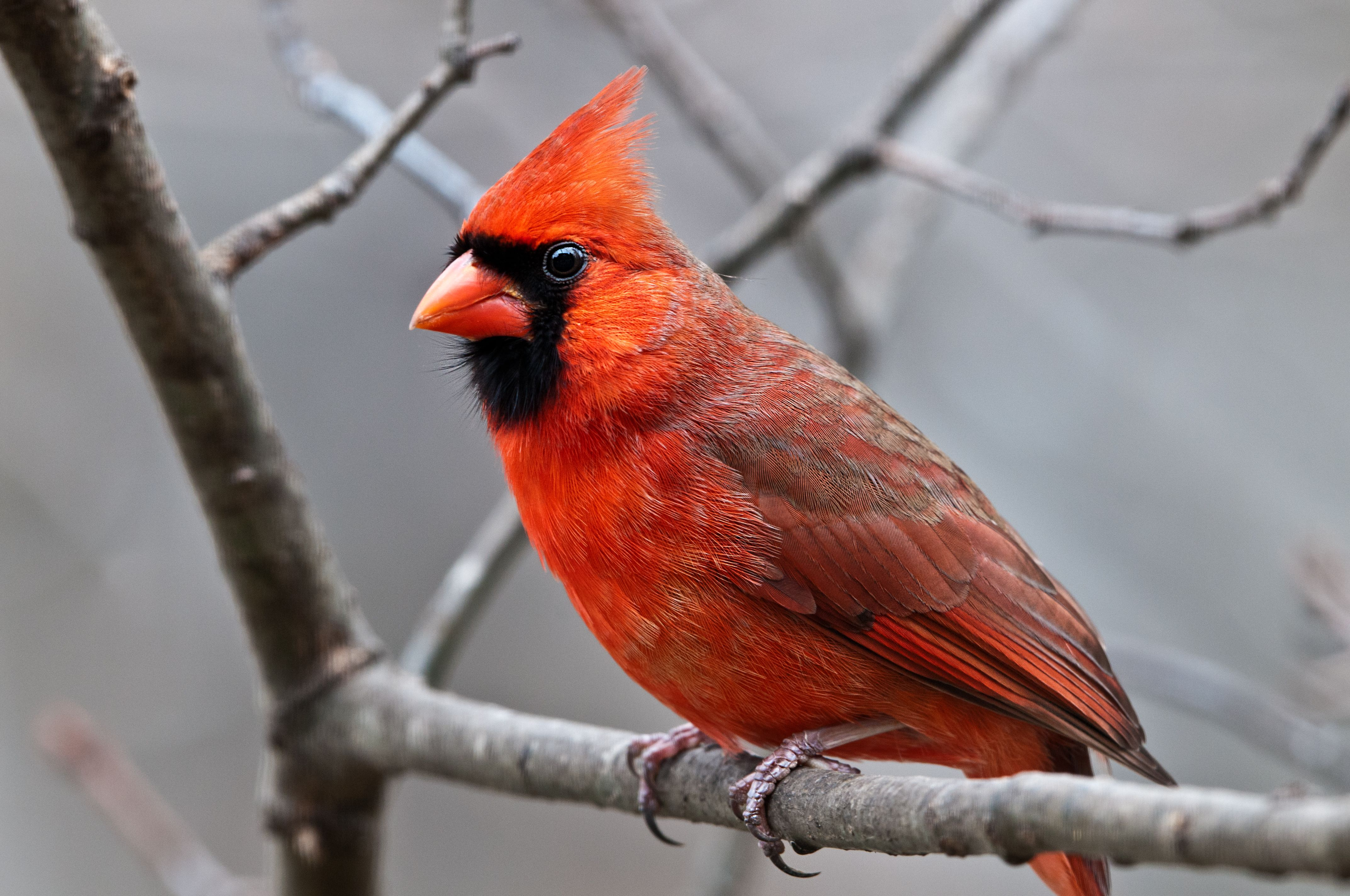 It S Like Living In An Aviary With Images Cardinal Birds Red