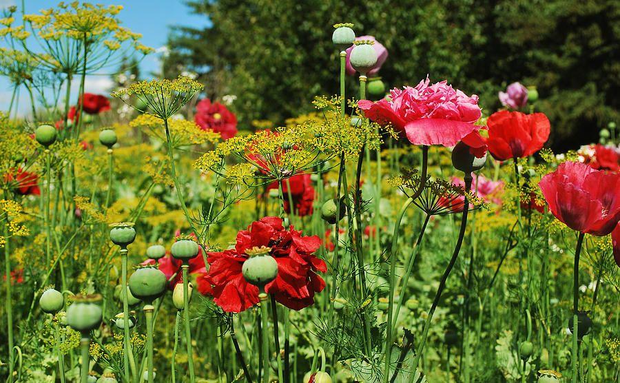 poppy garden Google Search Poppy garden, Flower garden