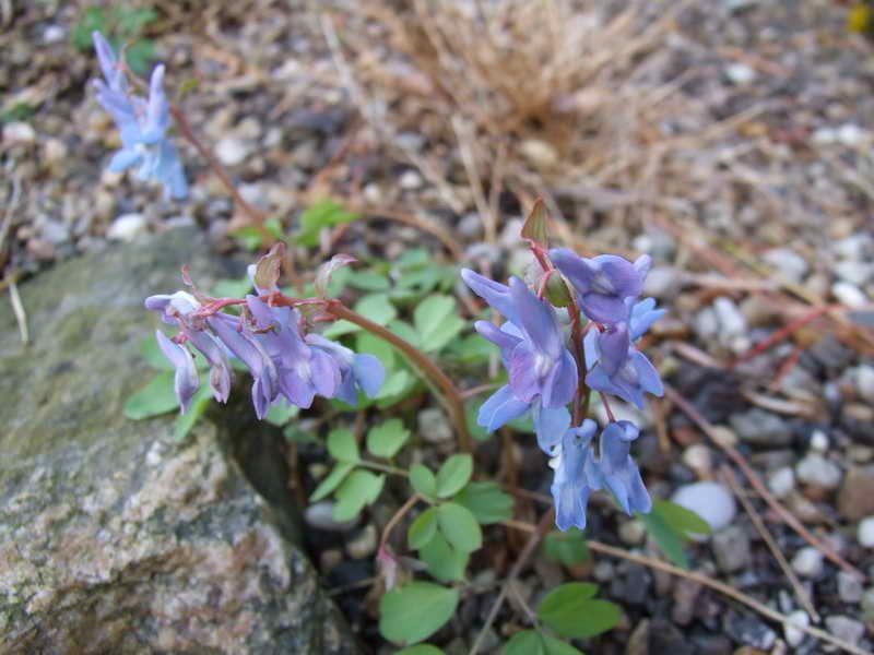Corydalis fumariifolia