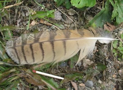 long-eared owl wing weather