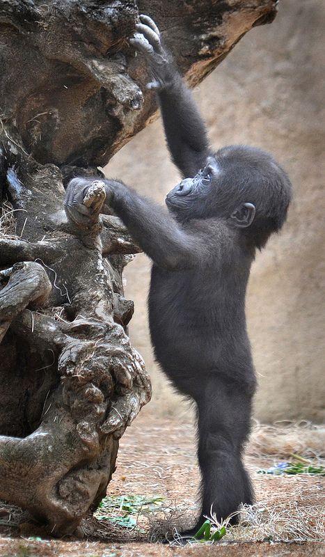 Gorilla Of My Dreams Cute Animals Cute Baby Animals Baby Animals