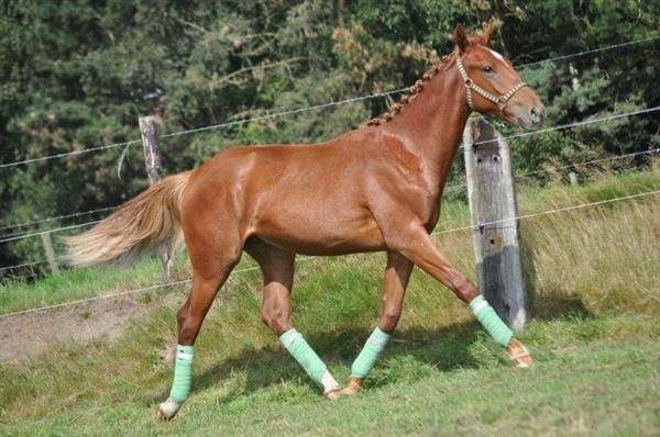 Paarden te koop: Karmann Kyron 1jr. KWPN vos ruin