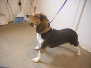 Adopt 2 Urgent 5 Yrs On Dog Pounds Adoptable Beagle