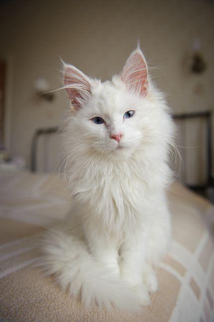 Darley Pretty Cats Beautiful Cats Cute Cats