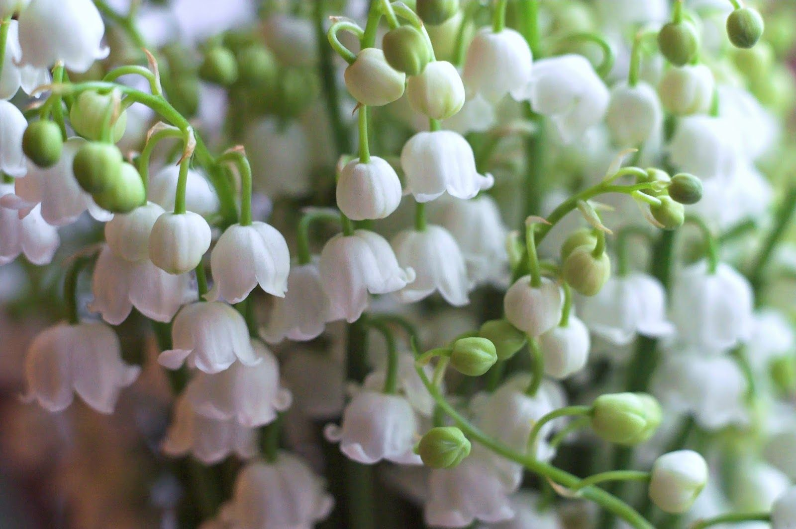 The May Birth Flower ... Lily Of The Valley | Plants under ...