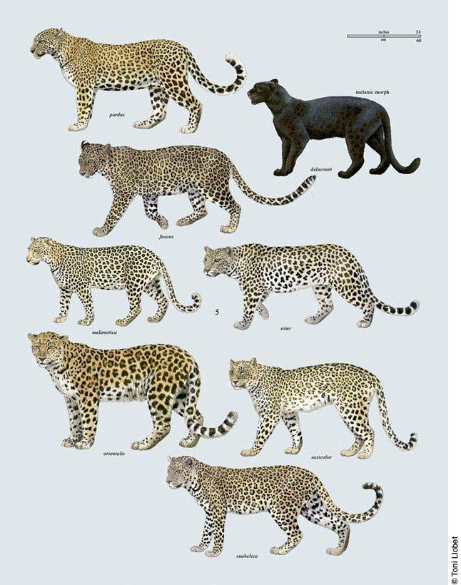 tonillobet_wildlifeart_leopards1_plate | 196_FELIDAE: OTHER ...