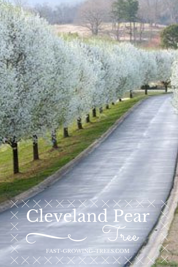 The Cleveland Pear Tree Is A Perfectly Uniform Tree That Grows