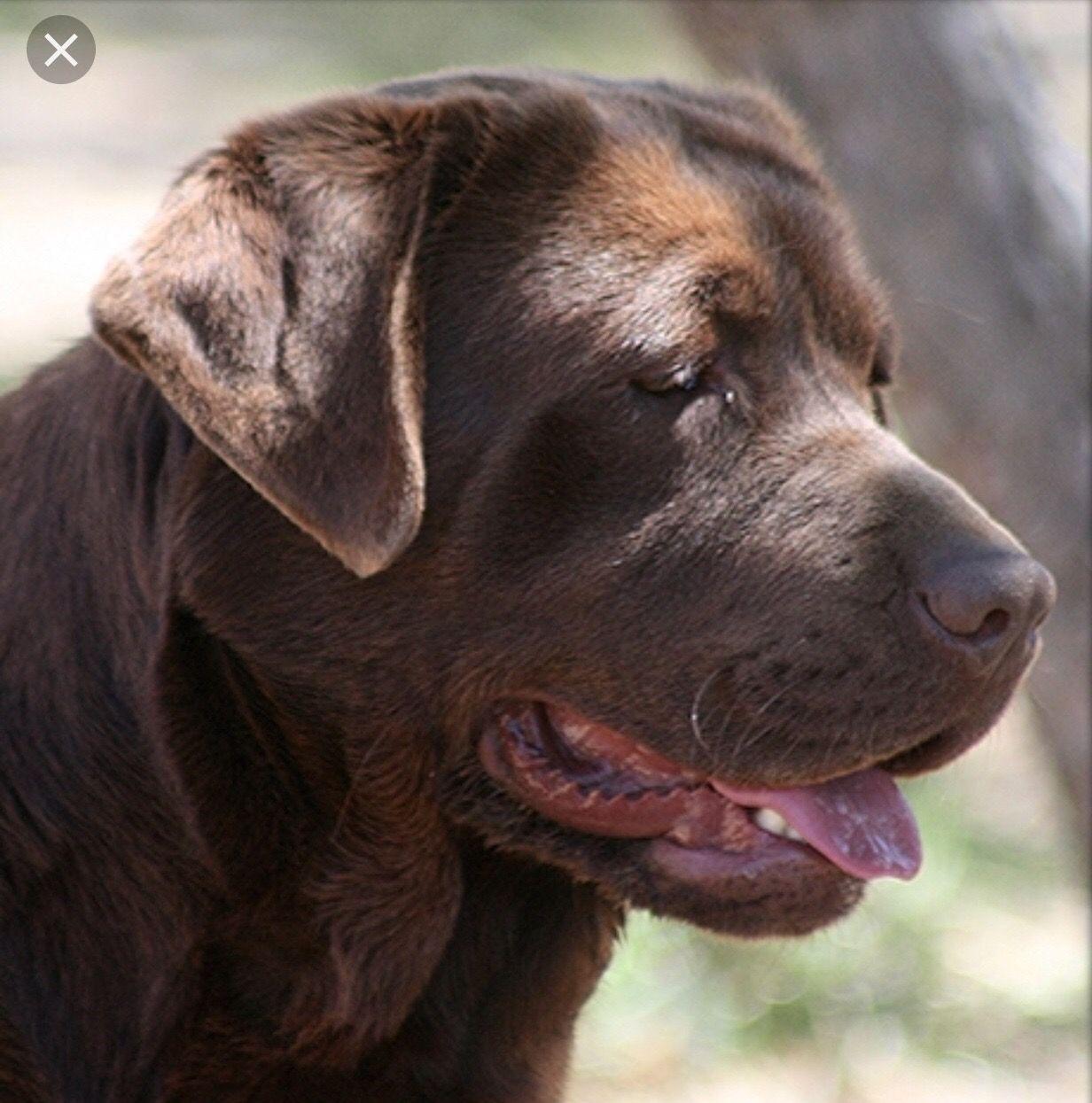 Pin By Wanda Crowder On Pets Labrador Dogs Labrador Retriever