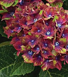 New Shrubs New Vines New Bushes New Clematis New Varieties Of Shrubs And Trees White Flower Farm White Flower Farm Hydrangea Seeds Trees To Plant
