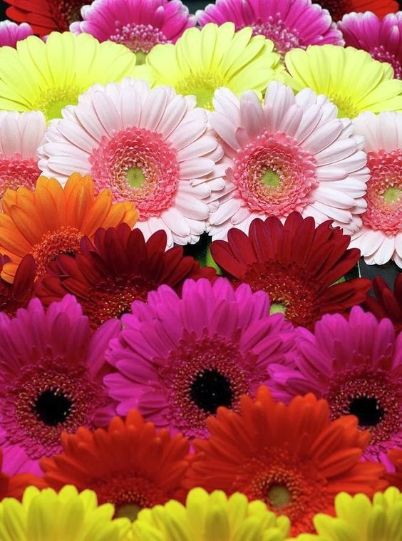25 Most Beautiful Pink Flowers With Pictures Flowers Gerbera Flowers Flowers Perennials