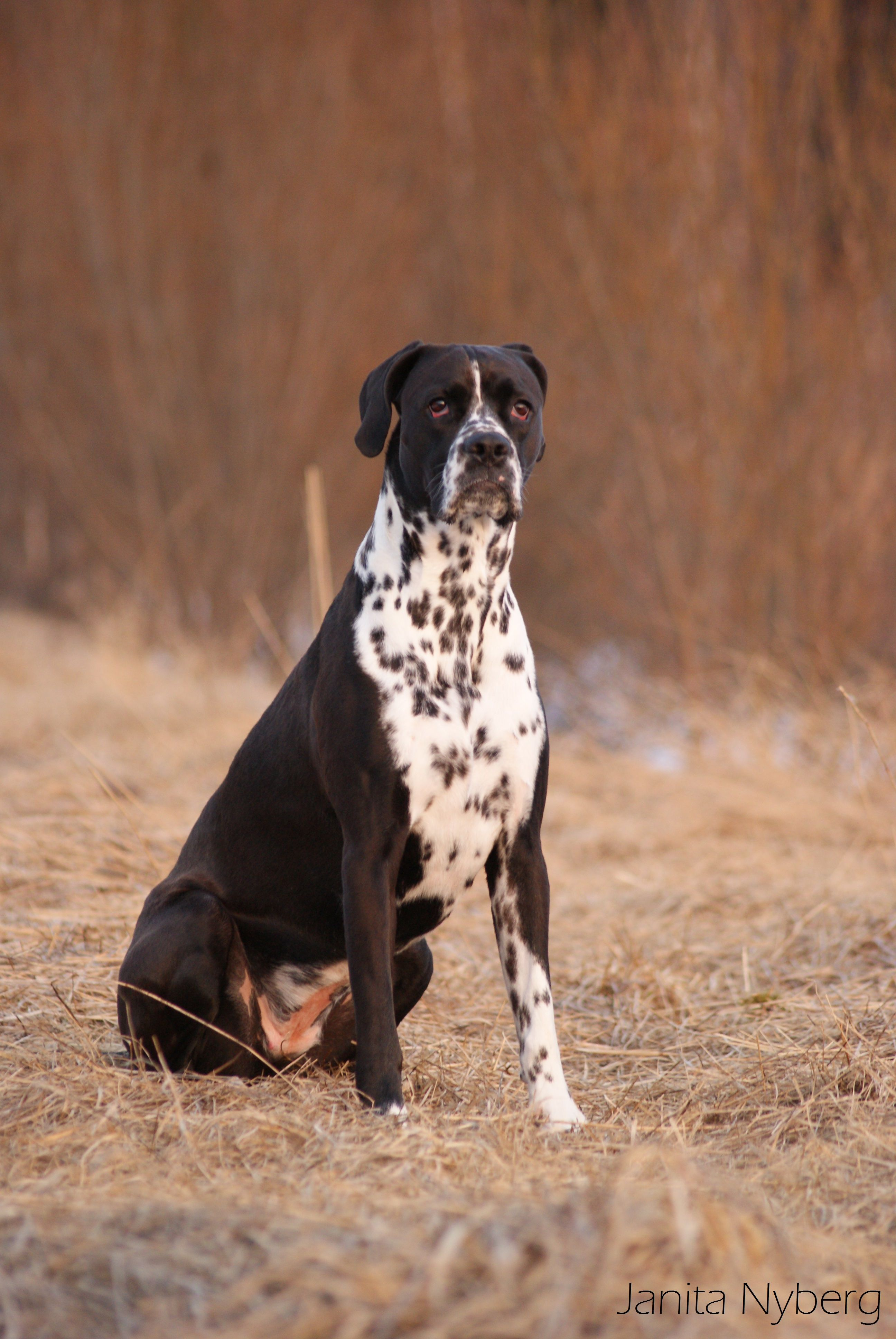 Boxer Dalmatian Mix Puppy Goldenacresdogs Com