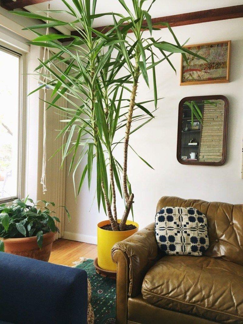 Tropical Plants For Indoor Yucca Tree Yucca Plant Indoor Best Indoor Trees