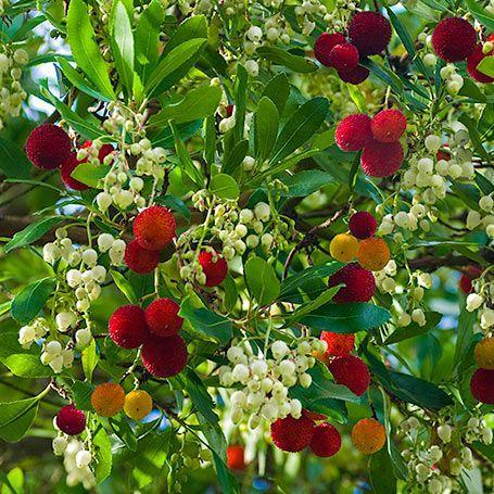 Erdbeerbaum immergr ne pflanzen garten erdbeerbaum for Immergrune pflanzen garten