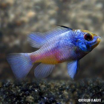 Poisson Apistograma Ramirezi Bleu Xl Autres Marques Fish Tank Fish Pet Animals