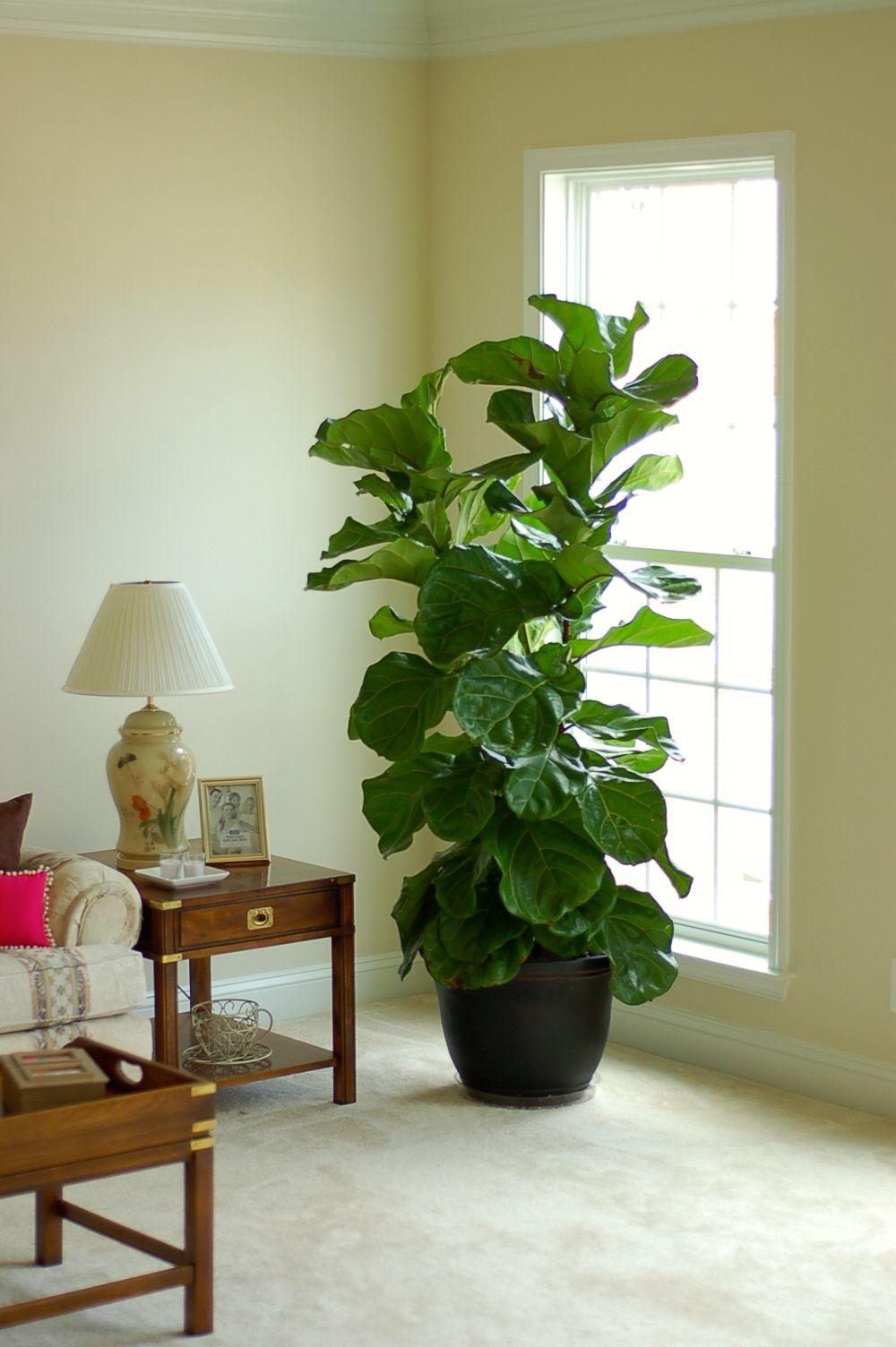 The Popular U0026 Elusive Fiddle Leaf Fig Tree