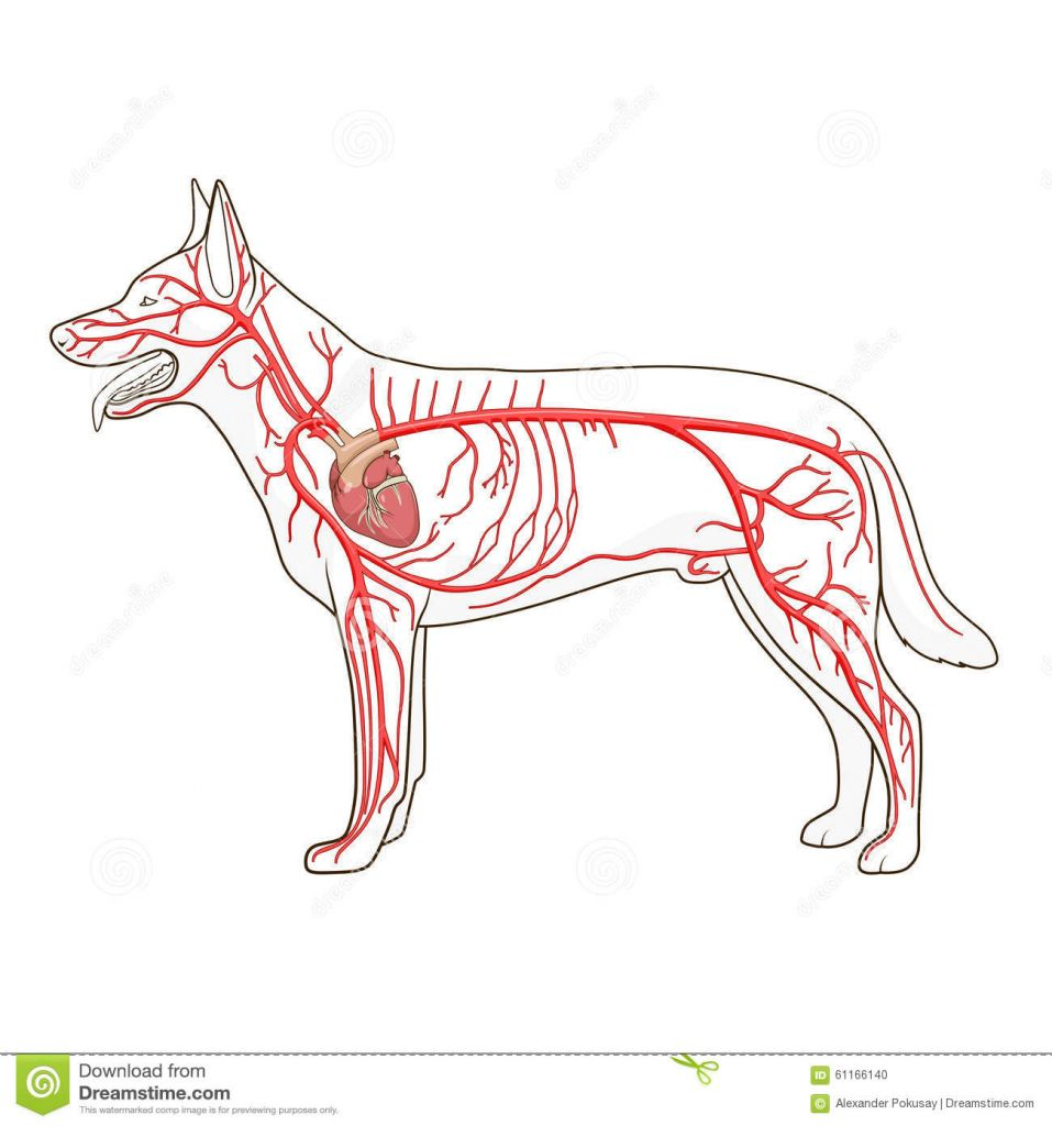 Image result for dog heart anatomy | science illustration ref ...
