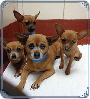 Chihuahua Puppy For Adoption In Marietta Georgia Harry Lala