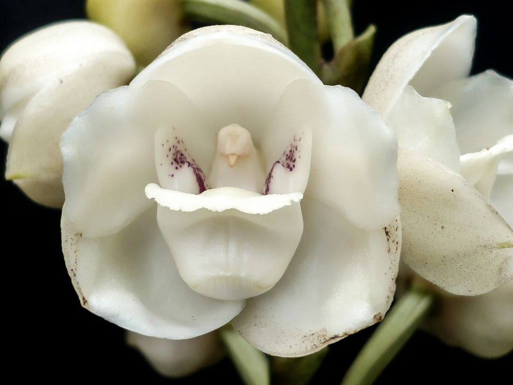 Flowers That Dont Look Like Flowers At All They Re Beautiful And They Remind The Human Eye Of Something Else Entirely Orchids Flowers Ghost Orchid