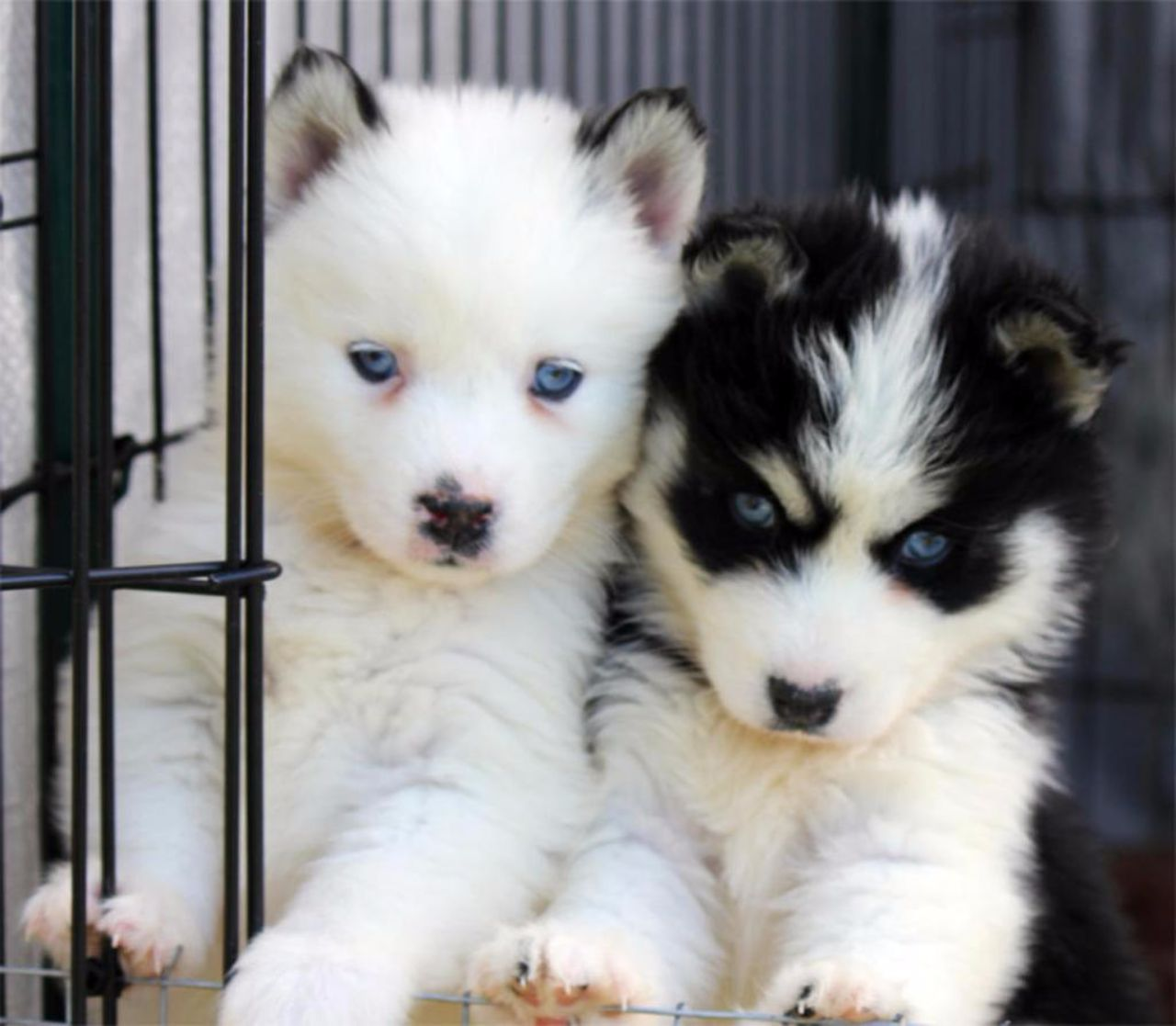 Pomsky Pomeranian And Siberian Husky Side By Side Comparison