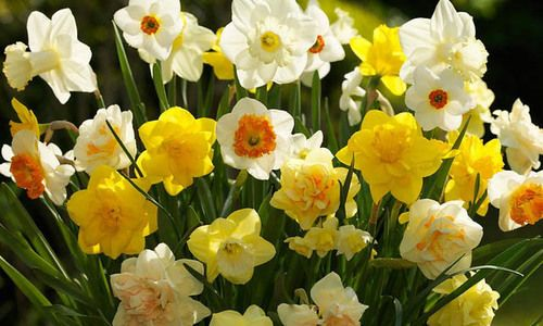 Hardiness 9 The Best Plants To Grow In Your Garden Daffodil Bulbs Spring Flowering Bulbs Daffodils