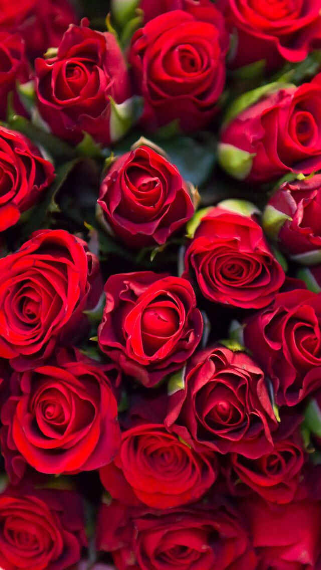 Wallpaper iPhone red roses | Wallpapers | Red roses background, Flowers, Flower wallpaper
