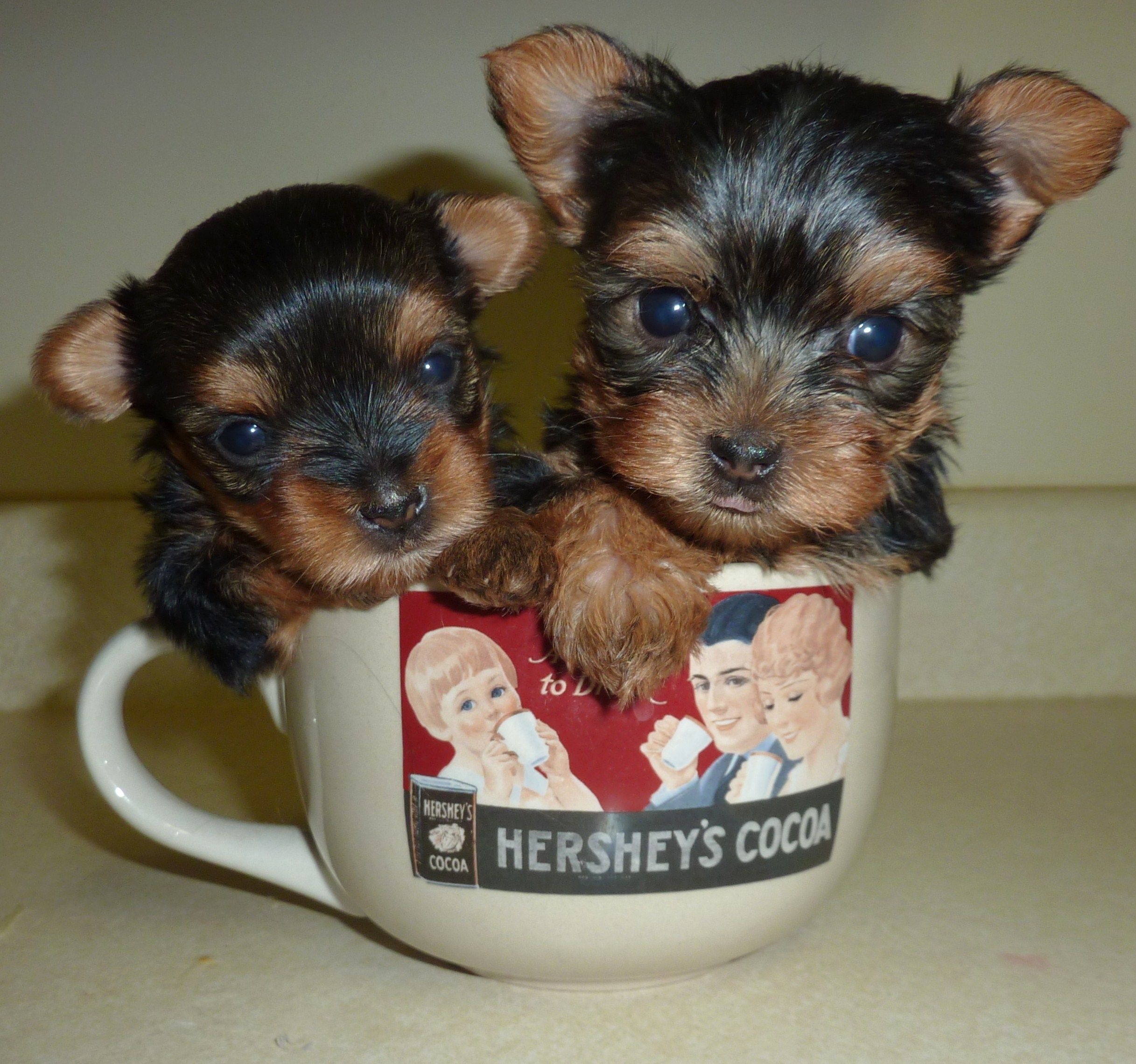 Mom Baby Yorkshire Yerrier Harrington Yorkies Dogs Pinterest