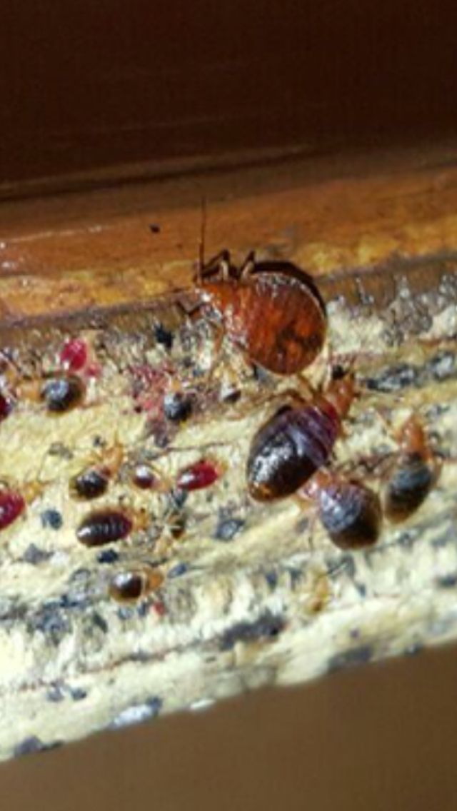 Bed Bugs In The Bench Seat At A Restaurant Bedbugs In Clearwater