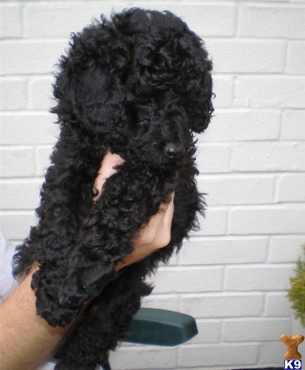 Black Poodles Omg This Looks Just Like My Wesley Poodle Puppy Poodle Grooming Poodle