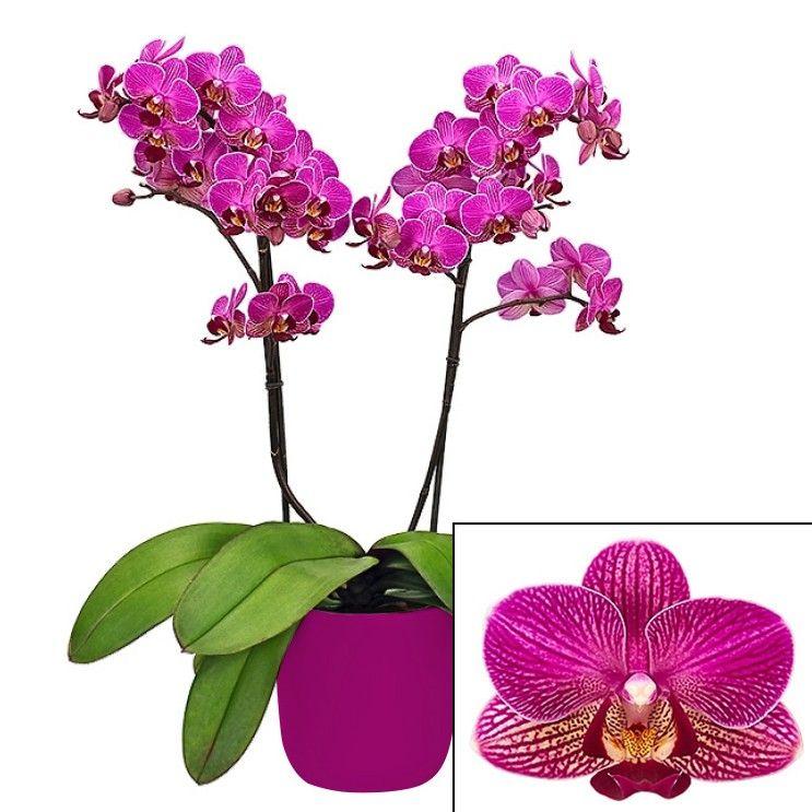 Phalaenopsis Multiflora Orchid Perceval Phalaenopsis Hybrid