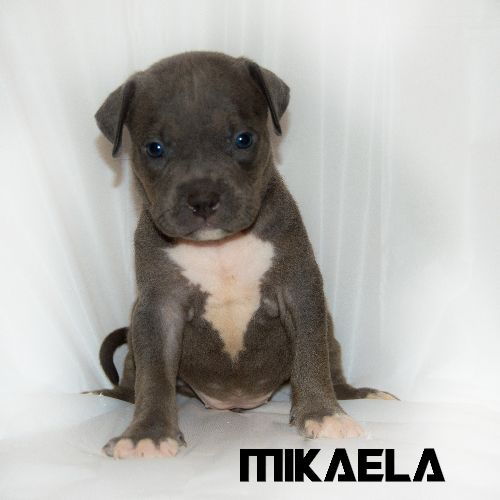 Mclovin And Diamond Puppies American Bully Puppies Puppies For