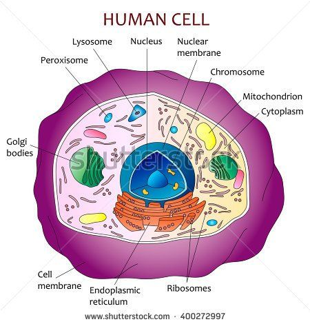 Human cell diagram | school project | Human cell diagram, Cell model, Cell model project