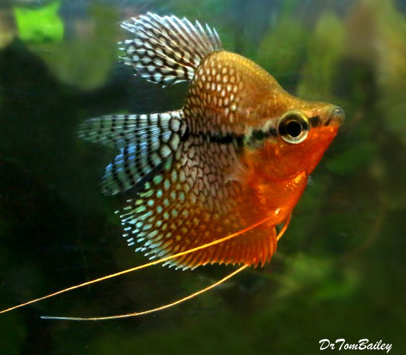 Premium Rare Balloon Pearl Gourami 1 5 To 2 Long Pet Fish Goldfish For Sale Tropical Fish