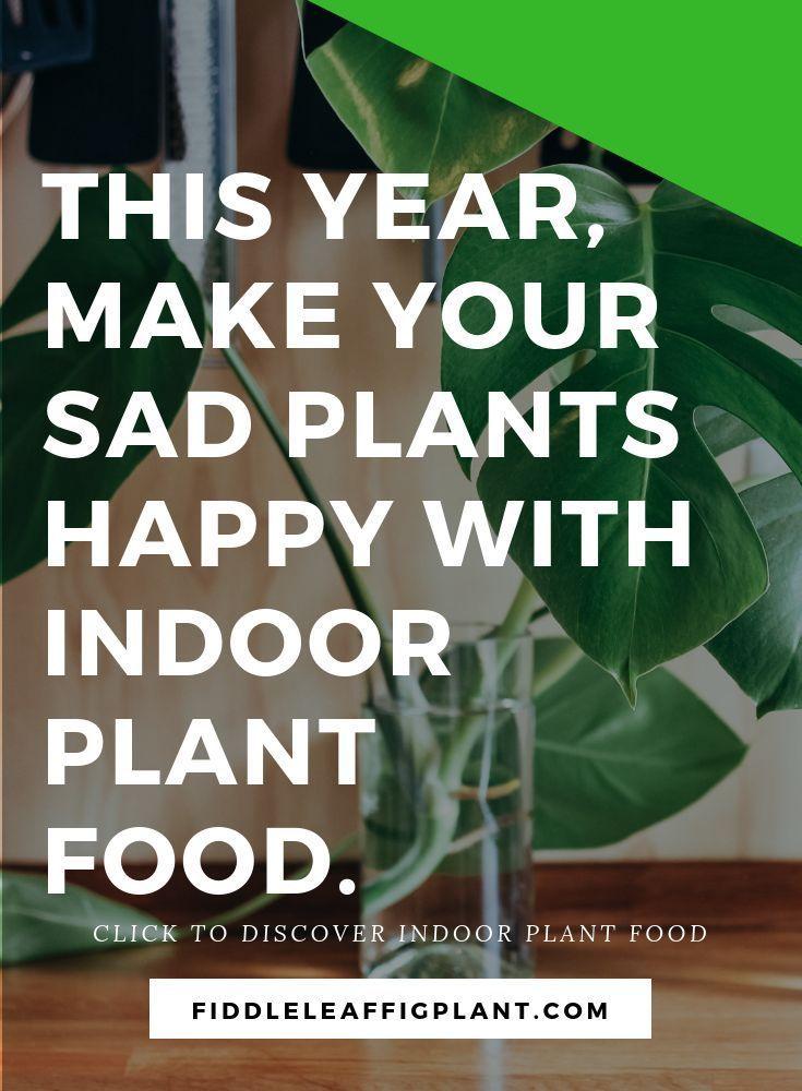 Fiddle Leaf Fig Indoor Plant Food Fall Vegetables To 640 x 480