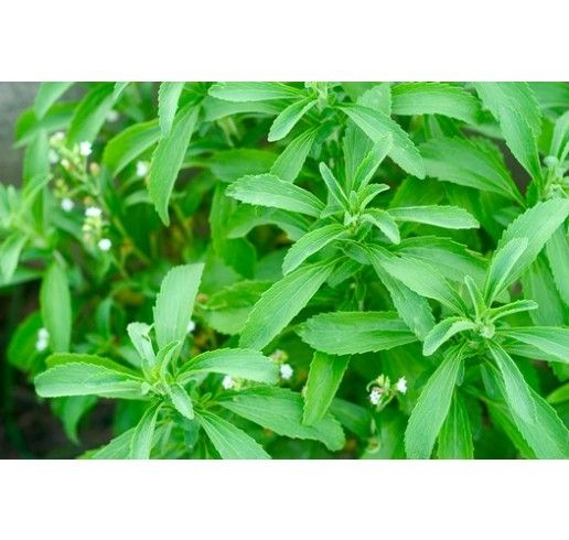 Stevia rebaudiana ´Improved Compact´ / Stévia cukrová, 30 cm, K9