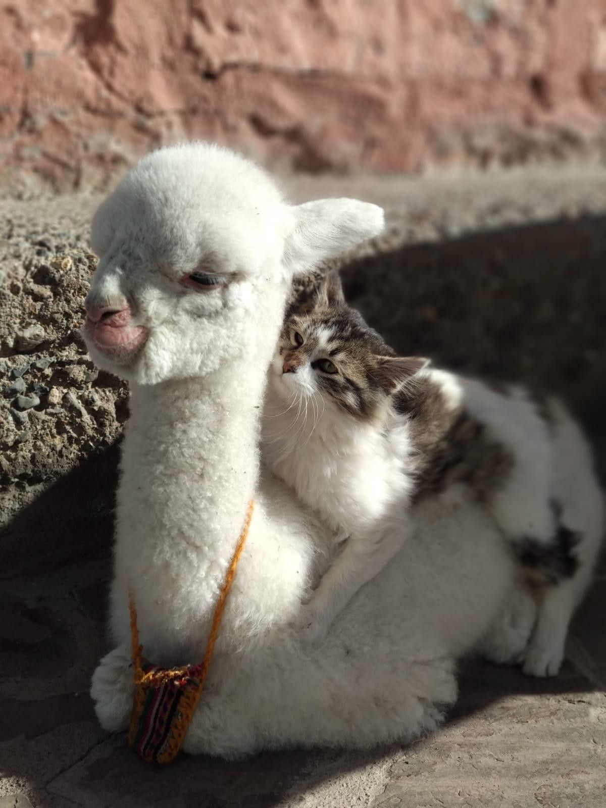 Omg A Tiny Llama With Images Cute Baby Animals Cute Animals