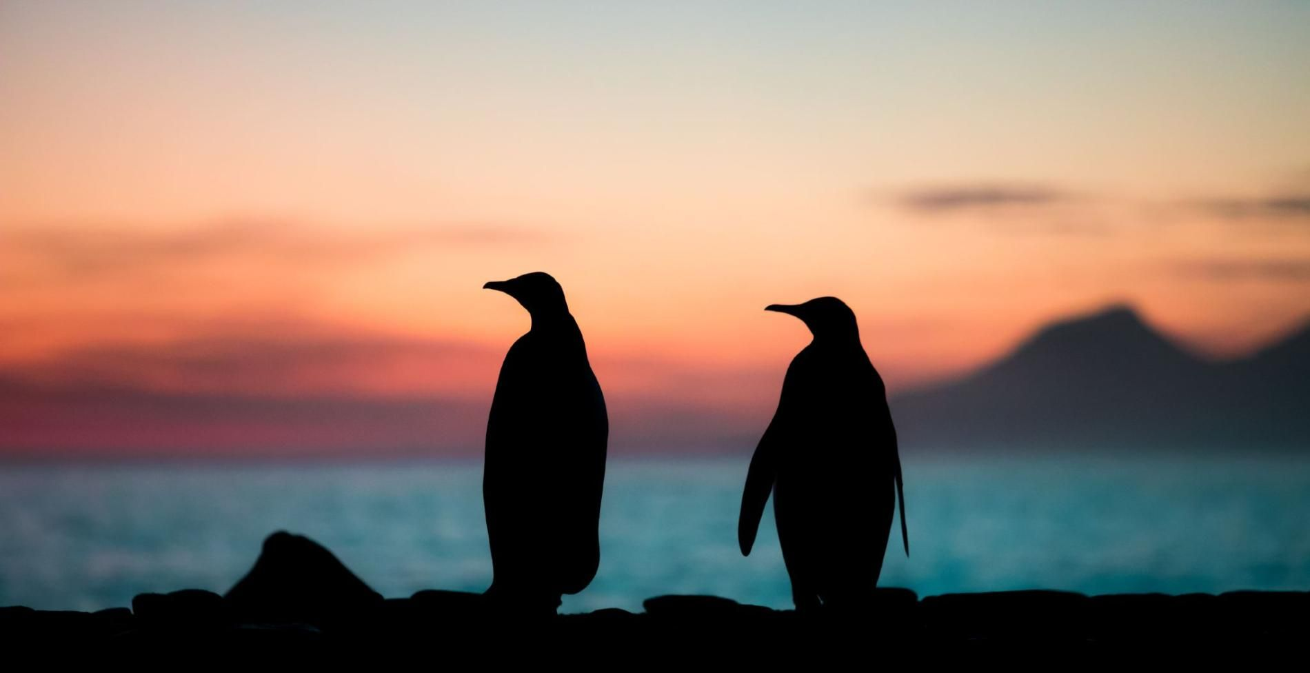Picture of two King penguins at sunrise at St. Andrews Bay, South Georgia Island