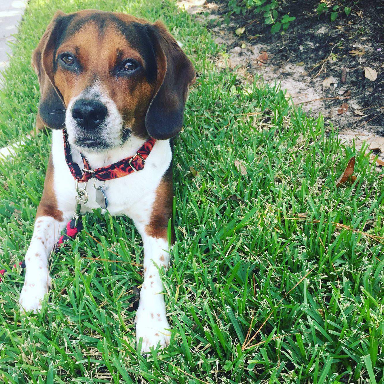 My Beautiful Nicholas Beagle Dogs Animals
